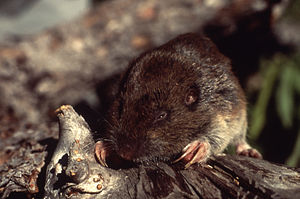Gopher - A typical pocket gopher.