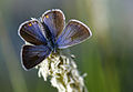 Polyommatus bellis 02.jpg