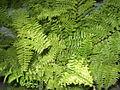 Polystichum setiferum -Anna park-yercaud-salem-India.JPG