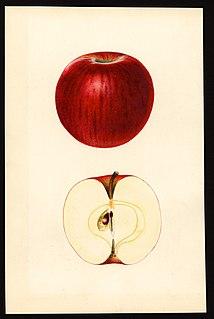 Ben Davis (apple) Apple cultivar