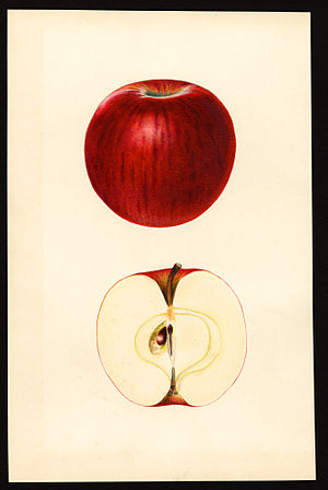 Ben Davis (apple) - Image: Pomological Watercolor POM00000155