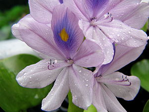 Pond Water Hyacinth Flowers