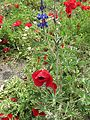Poppies in Kfar Nin, Israel 11.jpg