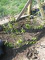 Populus balsamifera (17065633768).jpg