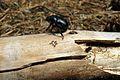 Potasze, Puszcza Zielonka (3) Geotrupes stercorarius.JPG