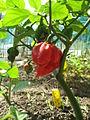 Pots of Trinidad Scorpion.jpg