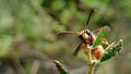 Potter wasp face (15636143154).jpg