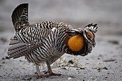 Prairie Chicken.jpg