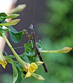 Praying Mantis (4916380073).jpg
