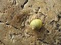 Pretty lemon coloured shell at Church Bay - panoramio.jpg