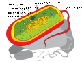 Prokaryote cell diagram he.svg