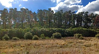 Pinus radiata - Plantation in Sydney, Australia