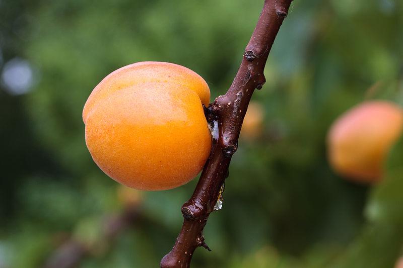Prunus armeniaca - MHNT Borderouge.jpg