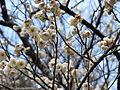 Prunus mume Yabai2.jpg