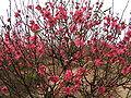 Prunus persica (Nhat Tan) 3.jpg