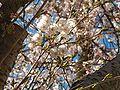 Prunus serrulata 2005 spring 017.jpg