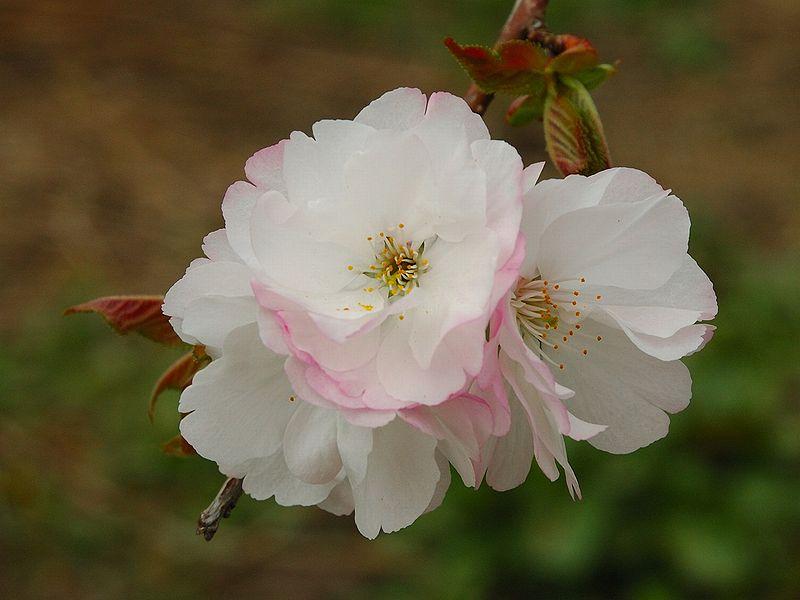 File:Prunus serrulata 2005 spring 027.jpg