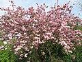 Prunus serrulata au parc de l'Aulnaye.jpg
