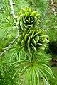 Pseudolarix amabilis kz5.jpg