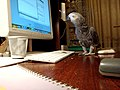Psittacus erithacus -pet by computer-8a.jpg