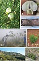 Psoralea margaretiflora pictures.jpg