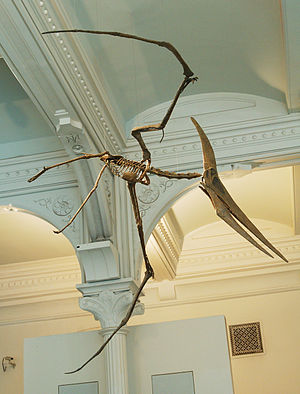 Pteranodon - Mounted replica of an adult male P. longiceps skeleton, AMNH