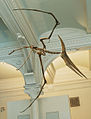 Pteranodon amnh martyniuk.jpg