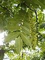 Pterocaria fraxinifolia hoja y floración.JPG