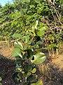 Pterocarpus santalinus.JPG