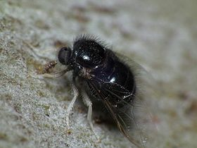 Pterodontia sp. fly.jpg