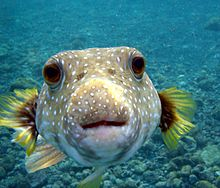 Photograph of a pufferfish.