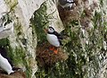 Puffin on Bempton Cliffs - geograph.org.uk - 1207577.jpg