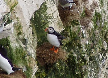 English: Puffin on Bempton Cliffs In the breed...