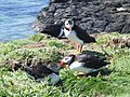 Puffins on Lunga. - geograph.org.uk - 1342465.jpg
