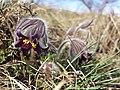 Pulsatilla pratensis (subsp. nigricans) sl25.jpg