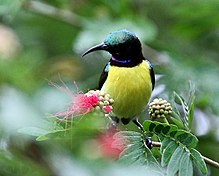 Purple-rumped Sunbird (Male) I2 IMG 7524.jpg