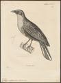 Pyroderus scutatus - 1700-1880 - Print - Iconographia Zoologica - Special Collections University of Amsterdam - UBA01 IZ16600129.tif