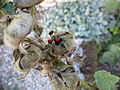 Pyrrhocoris apterus on Alcea rosea in Charente-Maritime 15.JPG