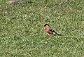 Pyrrhula pyrrhula - Eurasian Bullfinch, Giresun 2018-08-16 01.jpg