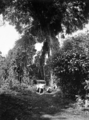 Queensland State Archives 1274 Giant Fig Tree on Lake Eacham road c 1935.png