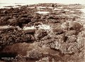 Queensland State Archives 2215 Coral reef near Cairns 1897.png