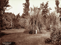 Queensland State Archives 2279 Botanic Gardens Brisbane 1897.png