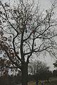 Quercus laevis (23516567184).jpg