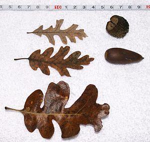 Quercus lobata - Acorn and leaves