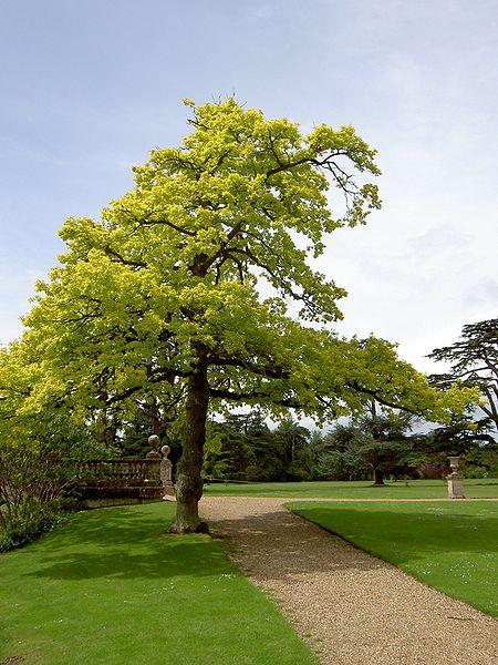 File:Quercus robur 'Concordia'.JPG