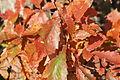 Quercus serrata(1) (23779097779).jpg