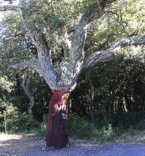 Description de l'image  Image:Quercus suber5.jpg .