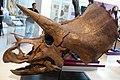 ROM 49 - Triceratops (14173105847).jpg