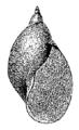 Radix natalensis shell 4.png