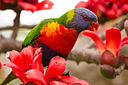 Rainbow Lorikeet in Roma Street Parklands - Brisbane.jpg